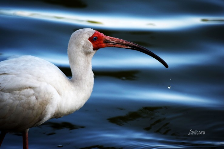 Ibis Drinking with a Drop