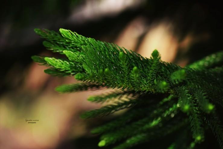 Norwegian Pine Branch Golden Hr