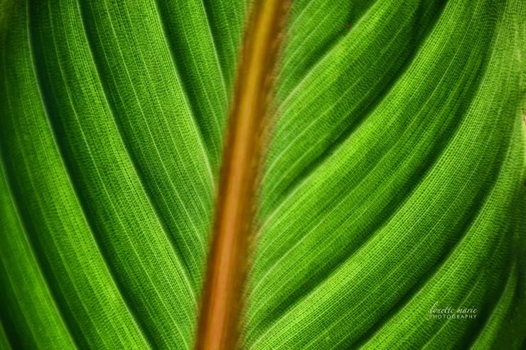 Shot Through Backside of Bird of Paradise Leaf